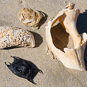 Sea shells and skate egg case. Pea Island National Wildlife Refuge (adjacent to Cape Hatteras National Seashore) is located on the north end of North Carolina's Hatteras Island, a coastal barrier island and part of a chain of islands known as the Outer Banks. The sanctuary is located 10 miles south of Nags Head, North Carolina on NC Highway 12.The refuge objectives are to provide nesting, resting, and wintering habitat for migratory birds, including the greater snow geese and other migratory waterfowl, shorebirds, wading birds, raptors, and neotropical migrants, as well as habitat and protection for endangered and threatened species. The refuge was established May 17, 1937.