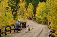 Woman walks with Australian Shepherd dogs in San Juan National Forest, Colorado, <br /> MODEL RELEASED, <br /> PROPERTY RELEASED