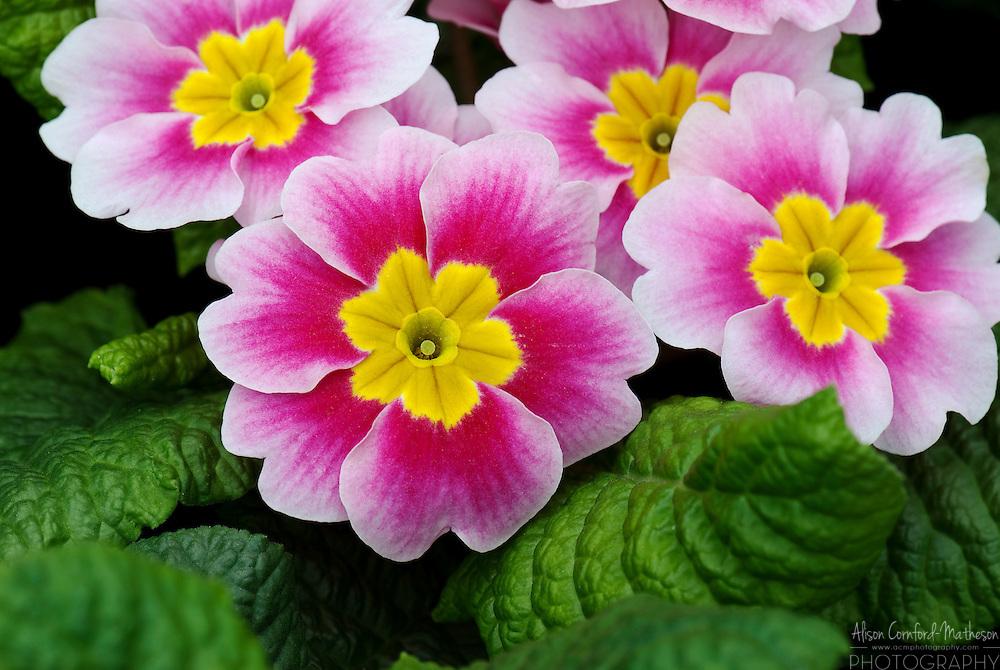 Primula vulgaris Primrose