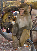"""A rhesus macaque monkey rests on a monument at Swayambhunath in Nepal, Asia. The """"Monkey Temple"""" was founded about 500 AD, one of the oldest and holiest Buddhist sites in the Kathmandu Valley. It sits on a hill in the west of Kathmandu overlooking the city."""