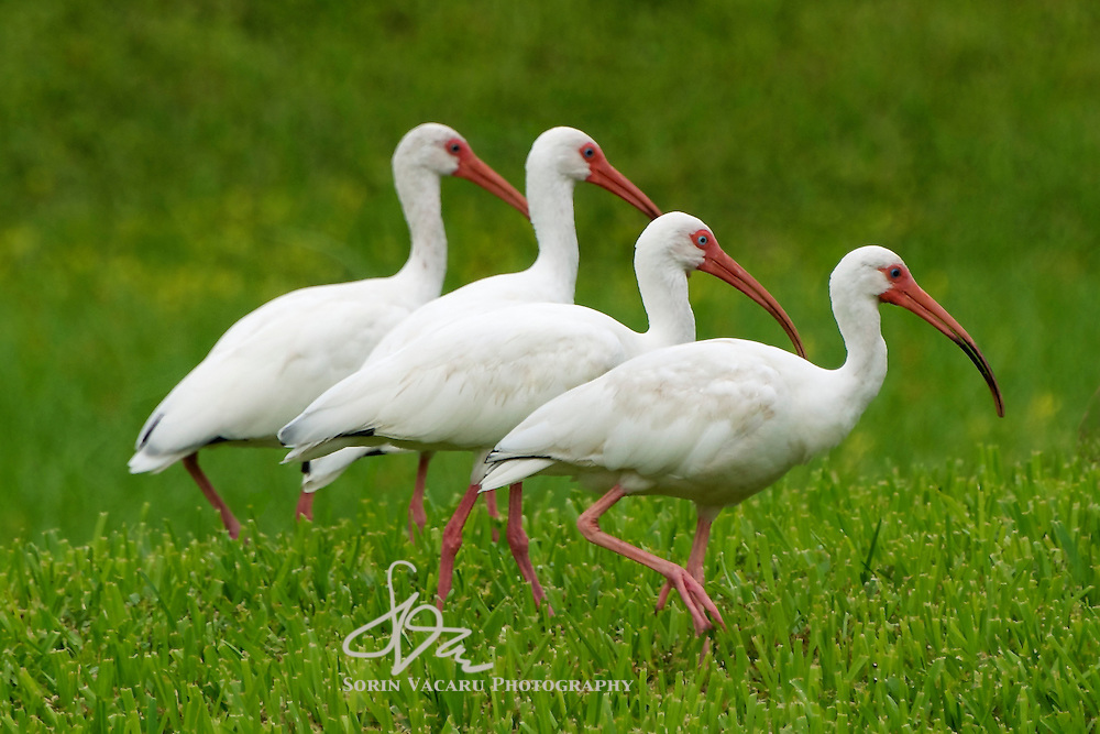 Four Ibises Marching in a Row