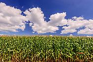 Corn field,  Sagaponack, Long Island, New York