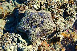 Cushion star (Culcita schmideliana) in Camden Sound on the Kimberley coast.