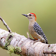 Red-crowned Woodpecker <br /> Melanerpes rubricapillus<br /> San Vito, Costa Rica<br /> 4 November      Adult Male        Picidae