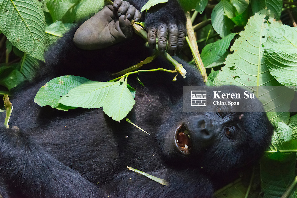3-year-old Gorilla baby in the forest, Bwindi Impenetrable National Park, Uganda