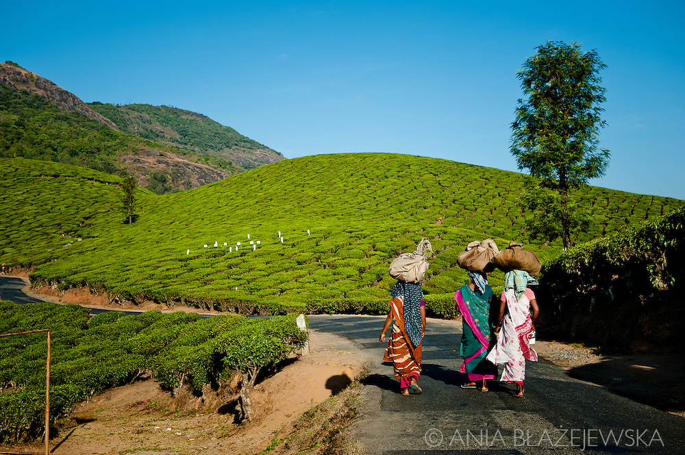 India, Kerala. Tea pickers on theirs way to work in beautiful tea plantations of Munnar.
