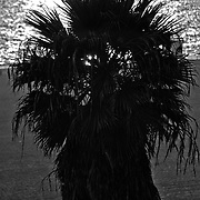 Sunset beach palm, Santa Monica, Los Angeles, California