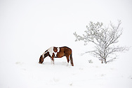 Paint Horse, winter, Montana, PROPERTY RELEASED