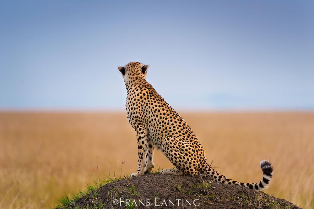 Cheetah on termite mound, Acinonyx jubatus, Masai Mara National Reserve, Kenya