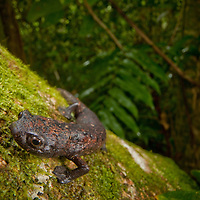 Bolitoglossa dofleini - the largest salamander in Central America - in the Sierra Caral forest of Guatemala
