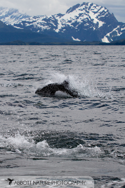 Dall's Porpoise (Phocoenoides dalli)<br /> Alaska: Valdez-Cordova Borough<br /> Prince William Sound out of Valdez<br /> 8-July-2012<br /> J.C. Abbott &amp; K.K. Abbott