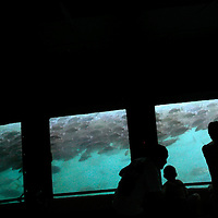 """HOMOSASSA, FL -- January 5, 2009 -- Visitors watch schools of fish swim in the natural Fishbowl at the Homosassa Springs Wildlife State Park in Homosassa, Fla., on Monday, January 5, 2009.  The 180-acrepark is built into the natural surroundings, giving visitors a glimpse at wildlife in their natural setting - including the """"Fishbowl,"""" which is a natural spring with and underwater viewing area.  (Chip Litherland for The New York Times)"""