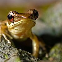 Frog from Hylarana mocquardii species complex, Central Sulawesi, Central Sulawesi