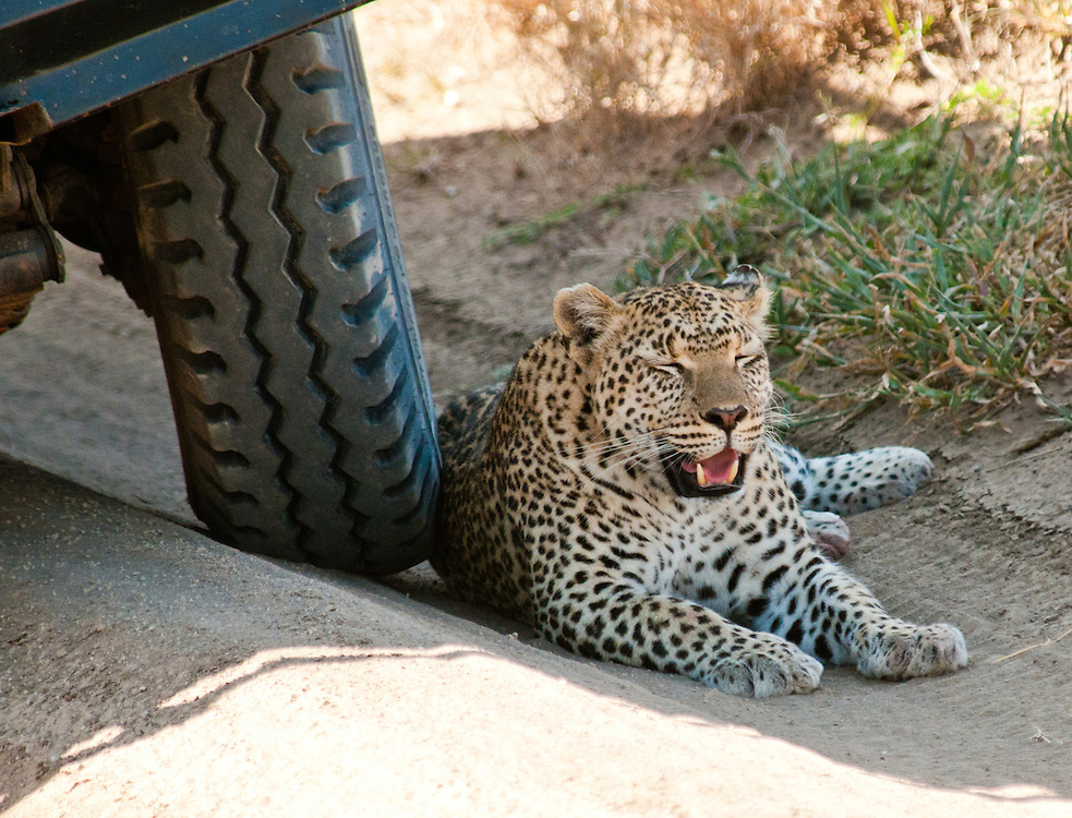 Leopard resting in the shade of the car