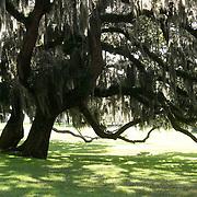 Spanish moss covered, ancient oak trees at Jekyll Island Club.