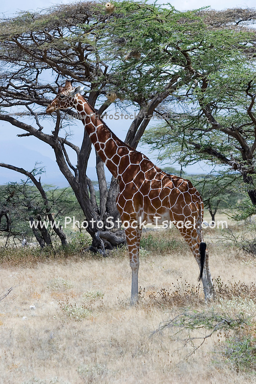 Kenya, Samburu National Reserve, Kenya, Reticulated Giraffe, Giraffa camelopardalis reticulata, resting in the shade of an Acacia tree February 2007