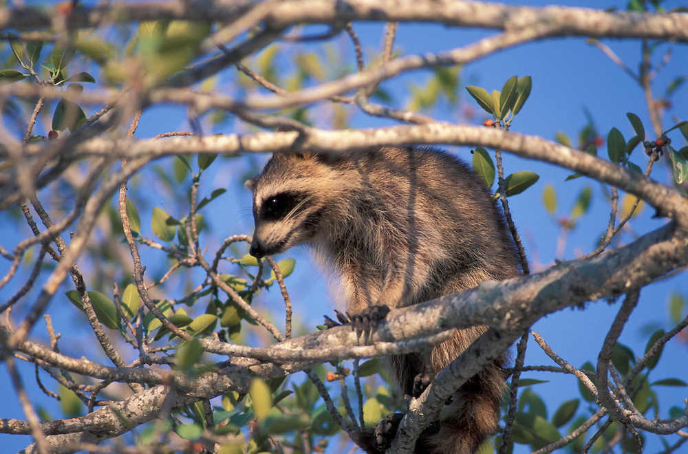 Racoon, J.N.Ding Darling National Wildlife Refuge, Sanibel Island,West Coast,Florida,USA