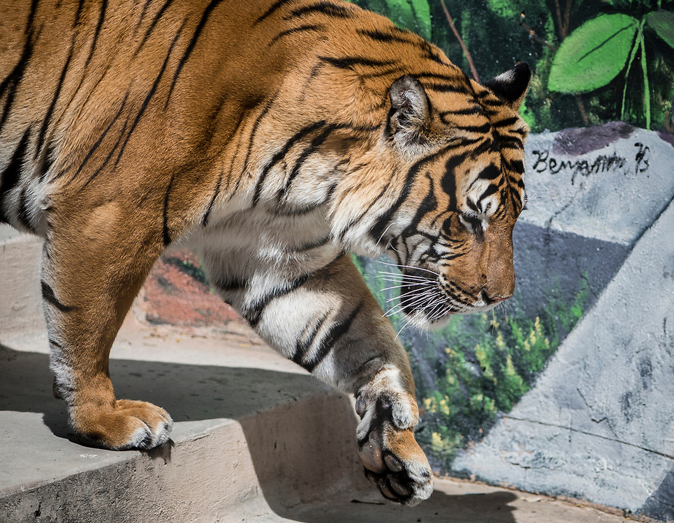 rer032017b/A1/03.20.2017/Roberto E. Rosales <br /> Penari, a new Malayan tiger was unveiled to the public Monday morning at Albuquerque's Bio Park.  Here he walks over to find a shady spot.<br /> Albuquerque, New Mexico(Roberto E. Rosales/Albuquerque Journal)