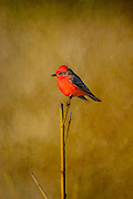 Male Vermilion Flycatcher; Pyrocephalus rubinus; perched on branch in Laredo, Texas in spring.