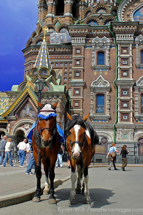 Europe, Russia, St. Petersburg.  Horses outside the Church of the Spilled Blood.