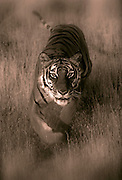 Portrait of a bengal tiger, panthera tigris (toned black & white photo-illustration), property released