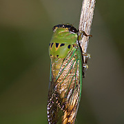 Superb Green Cicada.Tibicen superbus.Webberville Park,.Webberville,.Travis Co.,.Texas.16 July 2008