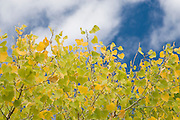 Cottonwood leaves in the autumn, turning yellow, Ft. Davis, Texas.