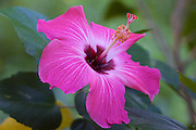 A red hibiscus blooms in the jungle near Sayulita, Mexico.