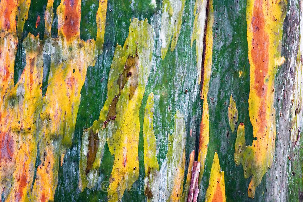 Vivid colours on the bark of a Eucalyptus tree, Barrington Tops, Australia