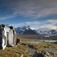 Antarctica, South Georgia Island (UK),  King Penguins (Aptenodytes patagonicus) in hills above shoreline overlooking massive rookery along Saint Andrews Bay