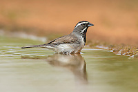 Black-throated sparrow bathing in pond
