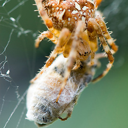 A pumpkin spider feasts on a trapped honey bee.