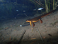 Rough-Skinned Newt<br /> <br /> Todd Pearsons/Engbretson Underwater Photography