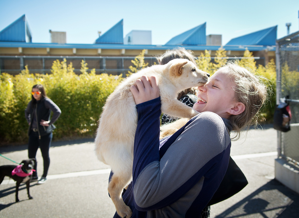 """mkb030717a/metro/Marla Brose -- Averie Riordan, 11, giggles as she bonds with """"Box Dog"""", a stray puppy that arrived at the Eastside Animal Shelter in a box Monday, before a groundbreaking ceremony for a renovation of the Kennel D building at the city's Eastside shelter, Tuesday, March 7, 2017, in Albuquerque, N.M. Averie is hoping that her family will adopt the blonde puppy. """"We'll go home and consider it,"""" said Averie's father, Michael Riordan, the city's Chief Operations Officer, who helped to plan the renovation. The existing building will contain 76 kennels and a new kennel building will provide another 20. (Marla Brose/Albuquerque Journal)"""