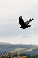 Common raven, (Corvus corax), Gravelly Range, Montana