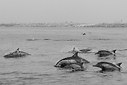 Pod of common dolphins off Palos Verdes, CA