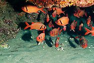 Bigscale Soldierfish, Myripristis berndti, Jordan & Evermann, 1903, Maui Hawaii