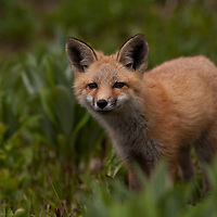 Fox on Hudson Bay Mountain, Smithers, BC