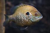 Sunfish Photos
