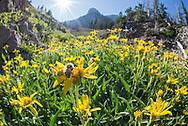 Central Bumble Bee, Bombus centralis, Bridger Range, Fairy Lake, Sacagawea Peak, Bozeman, Montana