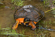 Wood Turtle (Glyptemys insculpta)<br /> PENNSYLVANIA: Clinton Co.<br /> Tamarack Swamp National Area @ Tamarack<br /> Sproul State Forest<br /> 14.June.2010<br /> J.C. Abbott #2438