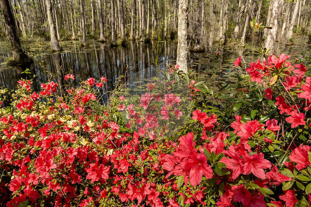 Cypress Gardens At Spring Richard Ellis Photography Archive Search