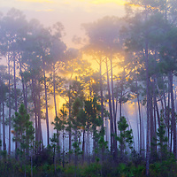 Sunrise behind a grove of slash pines at Long Pine Key in Everglades National Park, Florida. WATERMARKS WILL NOT APPEAR ON PRINTS OR LICENSED IMAGES.