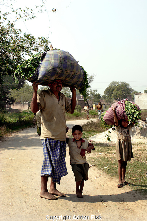 In Ghazipur district local dalits carry animal feed on their heads