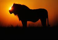 Lion with full stomach at dawn, Panthera leo, Okavango Delta, Botswana