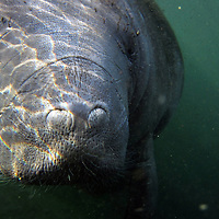 An endangered West Indian manatee rises for a breath in the Chassahowitzka National Wildlife Refuge. Many of the gentle giants bear scars from encounters with boats. This underwater photograph was made as the manatee approached the underwater photographer, do not approach or chase manatees in the wild.