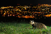 European Badger (Meles meles) North Downs above Folkestone, Kent, UK. Camera trap photo. Available only from Nature Picture Library