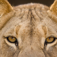 South Africa, Kgalagadi Transfrontier Park, Portrait of young male  Lion (Panthera leo) in Kalahari Desert
