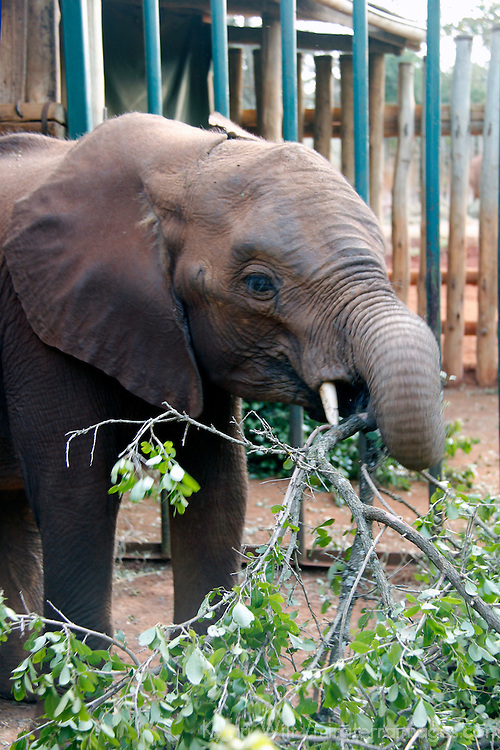 Africa, Kenya, Nairobi. Orphaned baby elephant well fed and cared for at David Sheldrick's Wildlife Trust.
