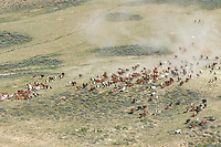 Large herd of wild mustangs in Wyoming